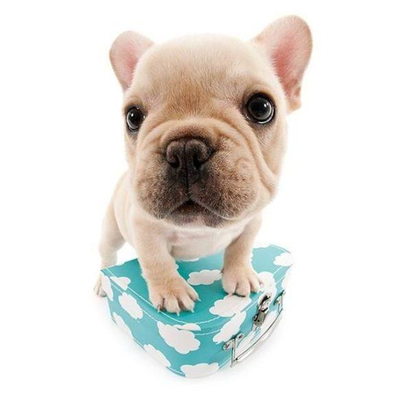Bulldogos Bögre - Francia bulldog kék bőrönddel