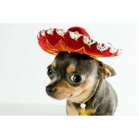Chihuahua - Csivava Cuccok