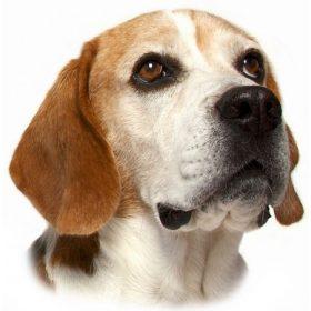 Beagle Cuccok